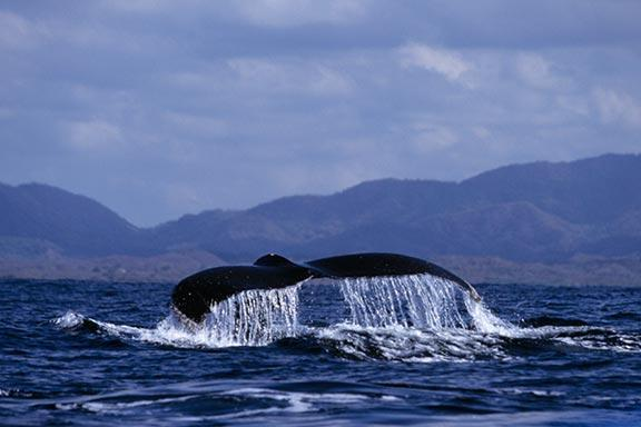 Hump Backed Whale Tail In Banderous Bay Mexico