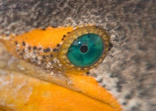 Emerald Eye of a Cormorant Fine Art Photo