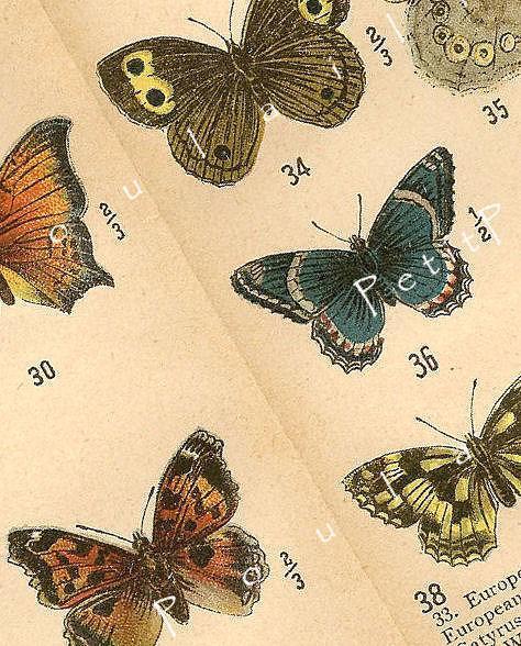 Butterflies 1906 Edwardian William Beutenmuller Antique Engraved