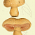St George Mushroom and Meadow Mushroom 1884 Antique M C Cooke Hand-Colored