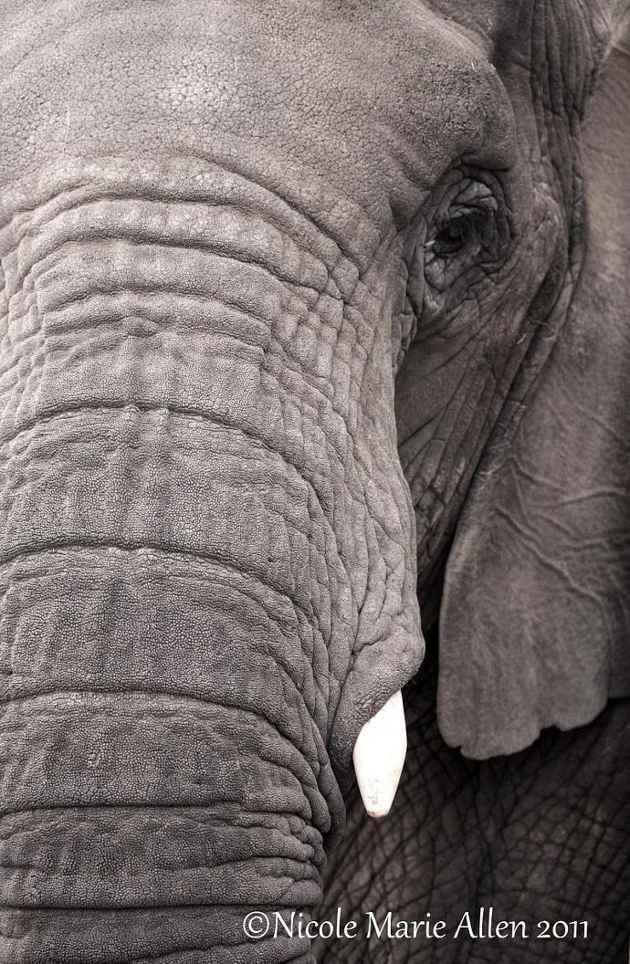 Grey Majesty: 11x14 Giclée Print of Elephant