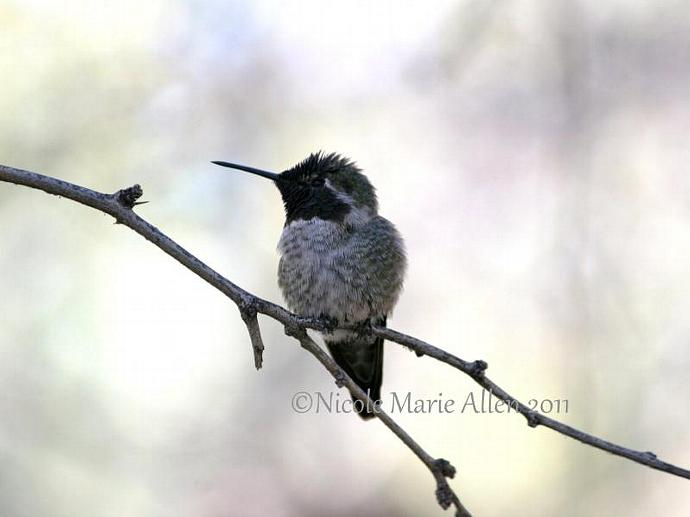 Greyscale Hummingbird: 8x10 Giclée Print of Hummingbird