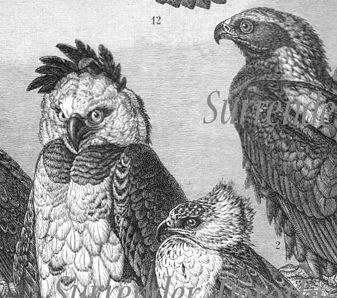 1907 Hawk Falcon Eagle Vulture Birds Of Prey Antique Engraved Illustration
