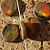 Earthy Fall Disk Czech Beads (10-1049)