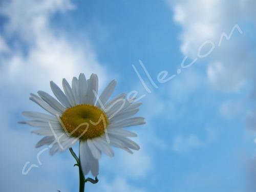 'Sunshine Daisy' ABB Original Art & Photography Wallpaper