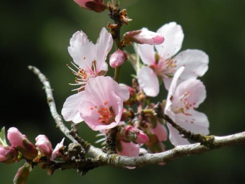Original Botanical Photograph Pale Pink Almond Blossoms All Occasion Greeting