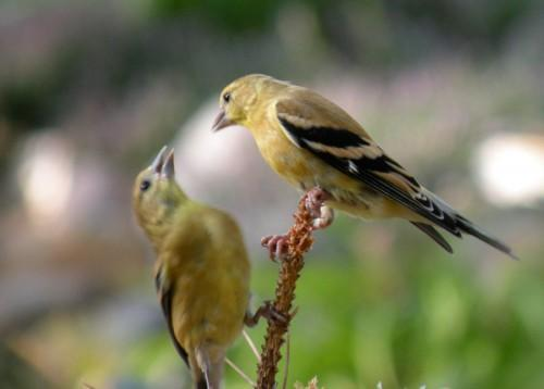 American Goldfinch Pair in Blank Note Card From Original Photo