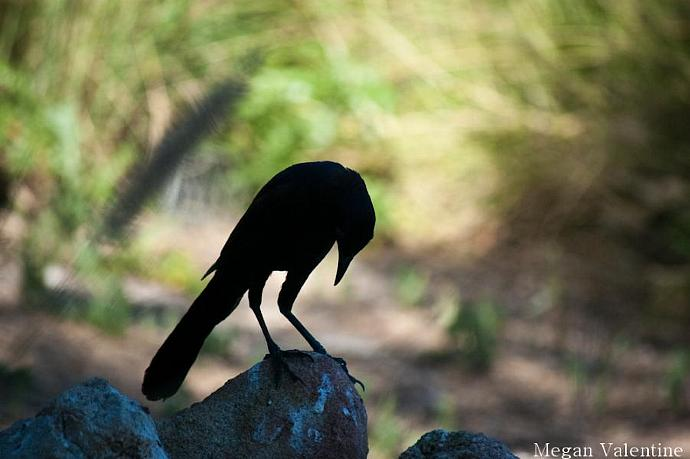Blackbird Silhouette 8x10