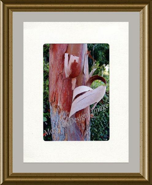 Photo - PHOTO CARD Shedding Brisbane Box Tree In Strathmore Trifold Frame Card