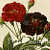 Provins Royal Rose and Tuscany Rose 1954 Mid-Century Redoute Botanical