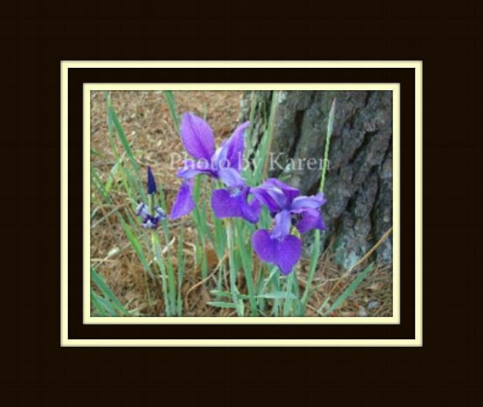Purple Iris 5 x 7 Original Photograph, other sizes available