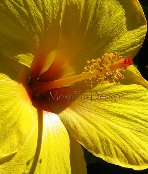 Photo -- YELLOW HIBISCUS Fine Art Photograph Tropical Flowers 8 x 10 Print Fits