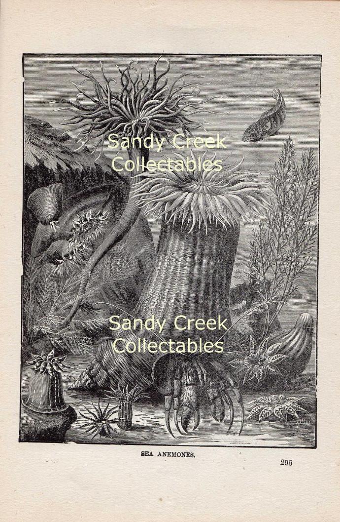 Digital Scan Sea Anemones Antique Book Page Engraving Printable