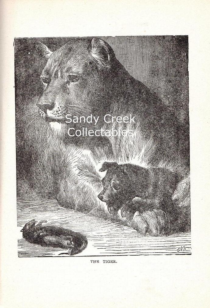 Digital Scan Tiger Antique Book Page Engraving Printable