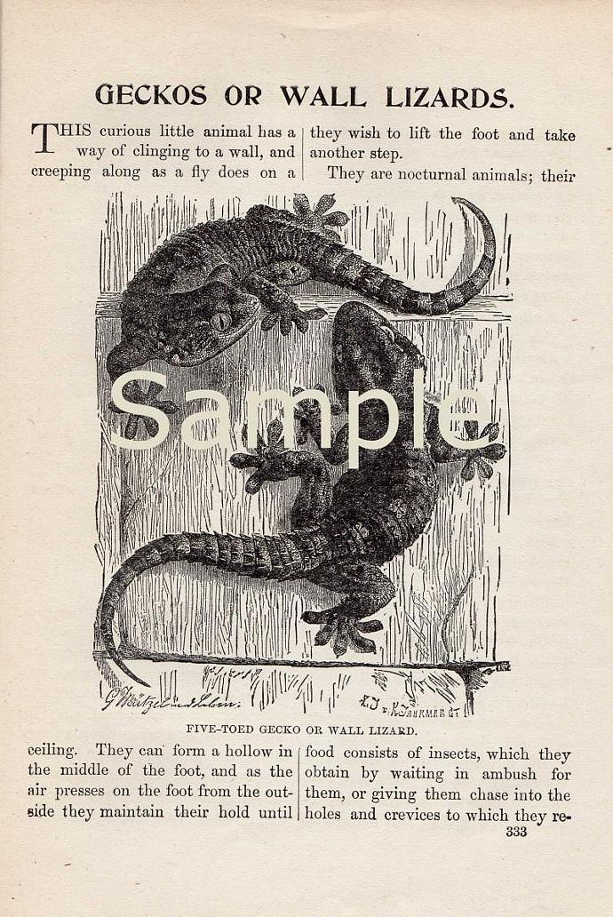 Digital Scan Gecko Lizard Antique Book Page Engraving Printable Image