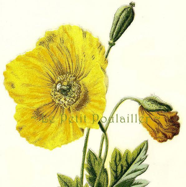 Mountain Poppy 1882 Victorian F Edward Hulme Antique Engraved Botanical