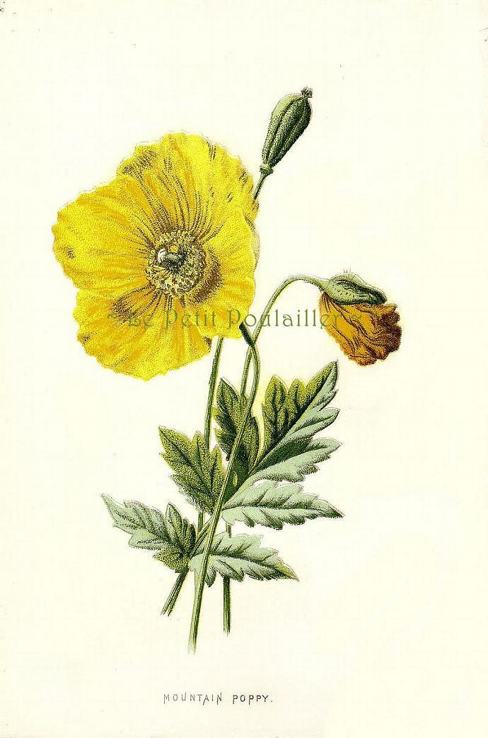 Mountain Poppy 1882 Victorian F Edward Hulme Antique Engraved Botanical