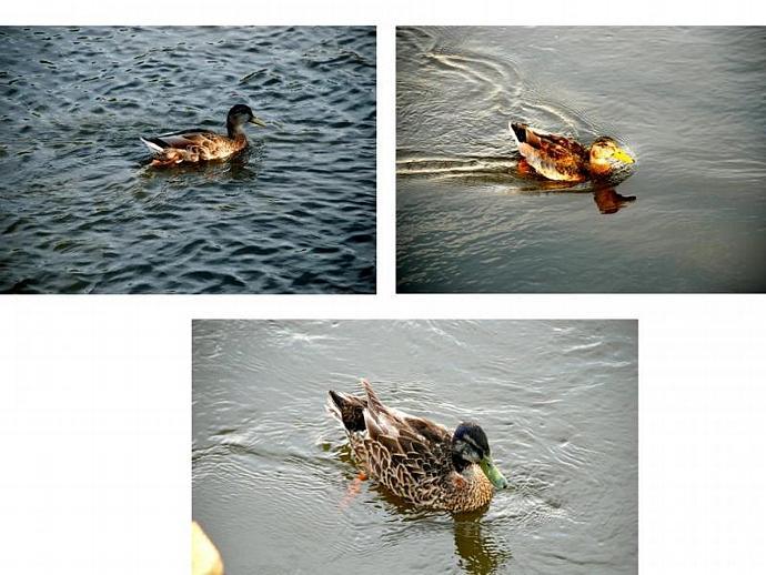 Mississippi Ducks fine art prints