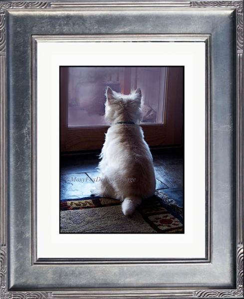 Art — LOOKING OUT — Fine Art Print West Highland Terrier  Home Decor 8 x 10