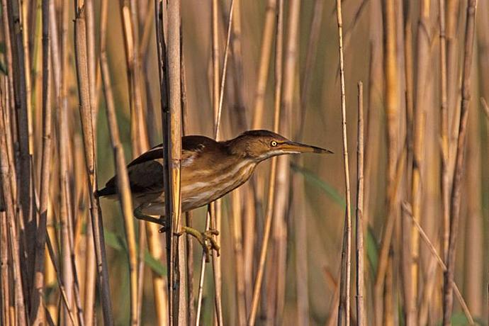 A Least Bittern Clinging To a Reed Fine Art Photo