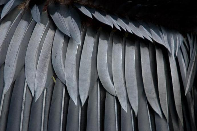 The Graphic Abstract Pattern of a Cormorants Wing Feathers Bird Fine Art Photo