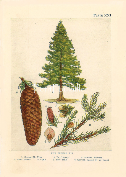 Spruce Fir Tree 1901 Edwardian Janet Kelman Antique Botanical Lithograph, Pl 21
