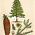 Edwardian Spruce Fir Tree 1901 Antique Botanical Lithograph