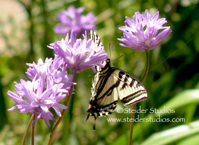 Nature Art Photo Blank Card, Swallowtail Butterfly on Wild Lily