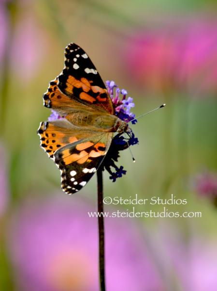 Nature Art Photograph Blank Note Card, Painted Lady Butterfly Wings Spread