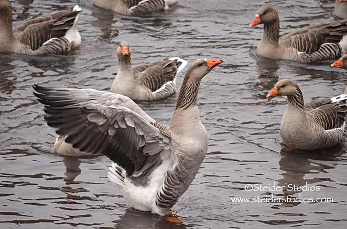 Nature Photography Blank Art Note Card, Geese on a Gray Day