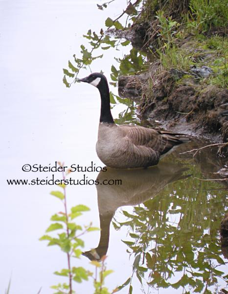 Nature Art Photography Canada Goose Swimming in Pond with Reflection Blank Note