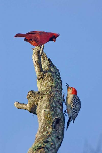 Conflict Between a Red Cardinal and a Red Bellied Woodpecker