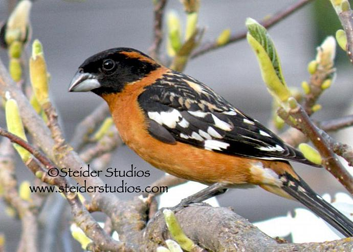 Black Headed Grosbeak Nature Bird Photography Blank Greeting Card