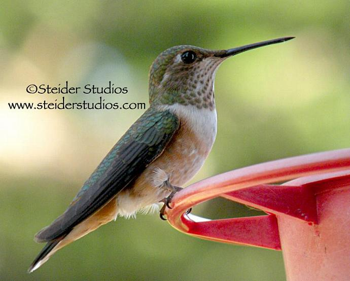 Nature Photograph of Hummingbird on Feeder All Occasion Greeting Card