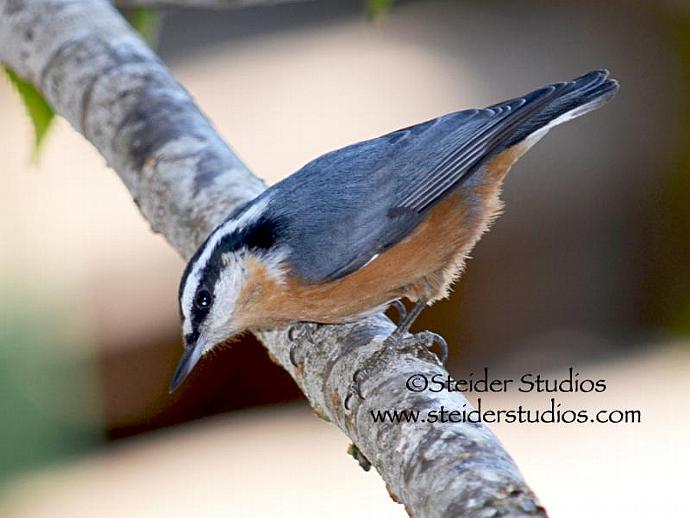 Detailed Nature Photograph of Nuthatch All Occasion Blank Greeting Card