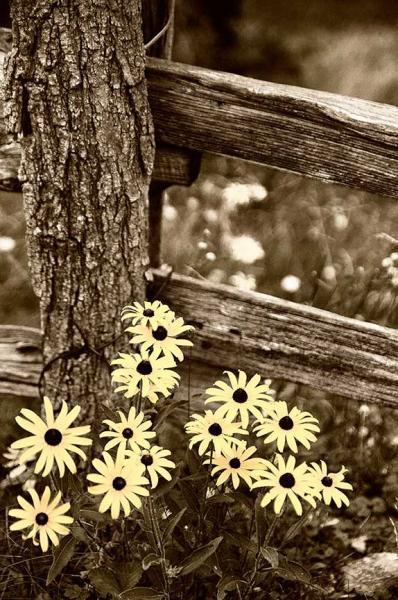 Black Eyed Susan Sepia Toned  Nature Photo