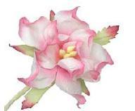 50mm Gardenia (25) pack