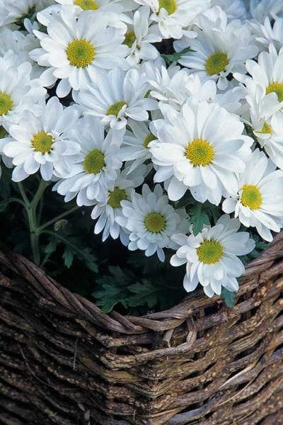 A Basket of Daisies Fine Art Photo