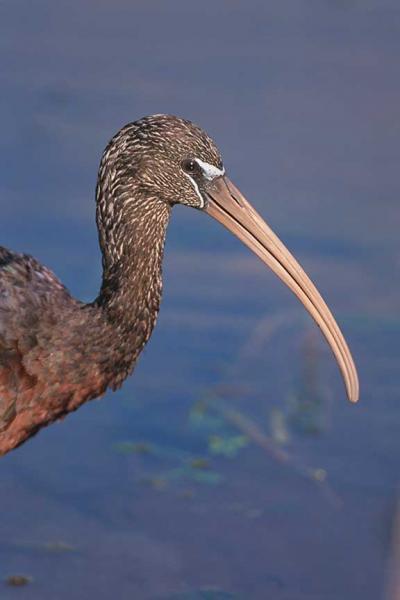 A Portrait of A Glossy Ibis Fine Art Bird Photo