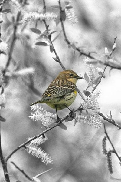 A Palm Warbler in A Black and White Setting