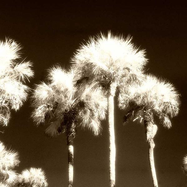 Palm Trees Infra Red Sepia Fine Art Photo