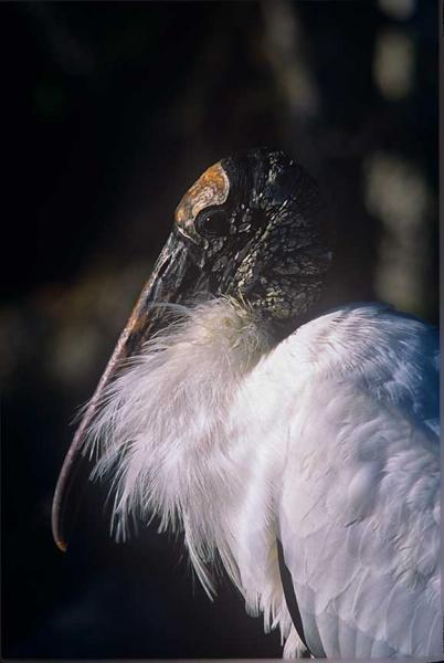 Portrait of a Wood Stork Fine Art Photo