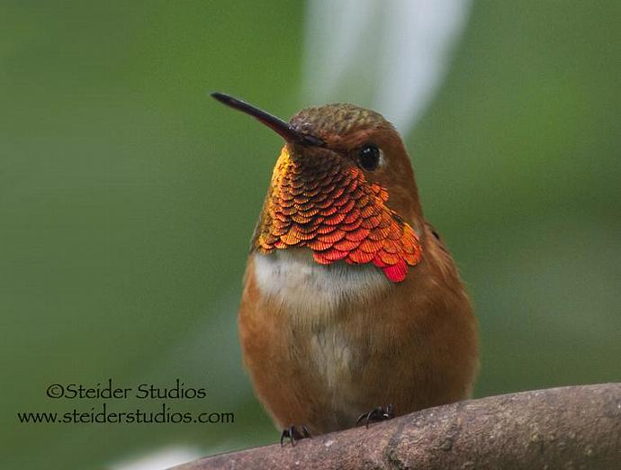 Nature Art Photograph of an Iridescent Rufous Hummingbird All Occasion Greeting