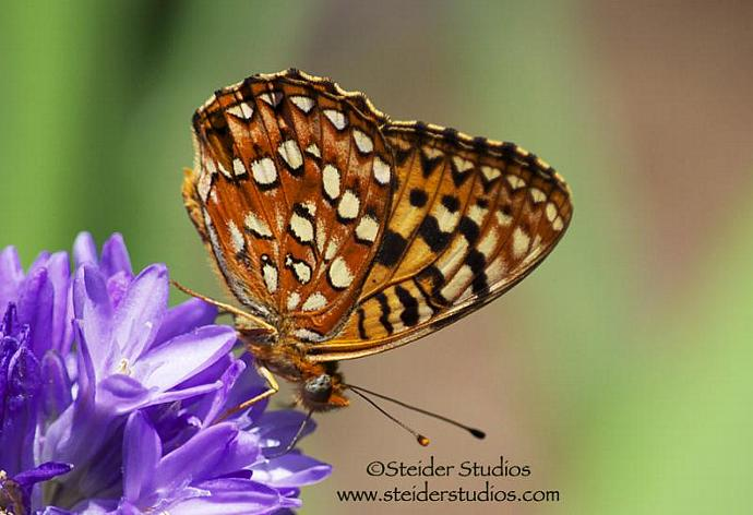 Nature Art Photograph of Butterfly Drinking Nectar from Wild Lily All Occasion