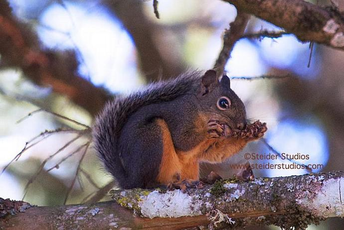 Nature Fine Art Photography Squirrel Eating Pine Nuts Blank Note Card