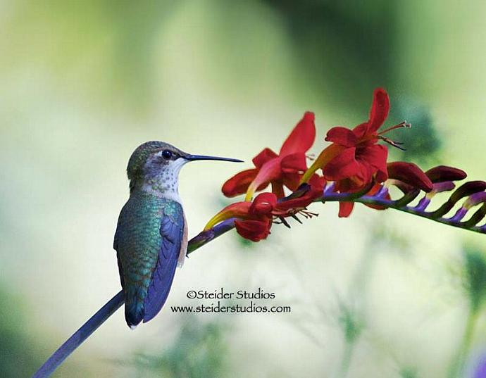 Nature Photography Iridescent Hummingbird Colorful Art Greeting Card
