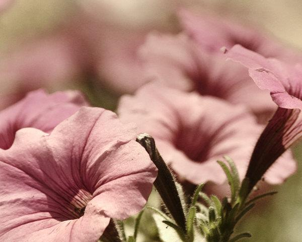 Pink Bedroom Art , Nature Photography, Flower Photography, flower picture, mauve