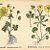 German Buttercups 1890 Engraved Botanical Wildflower Chromolithograph