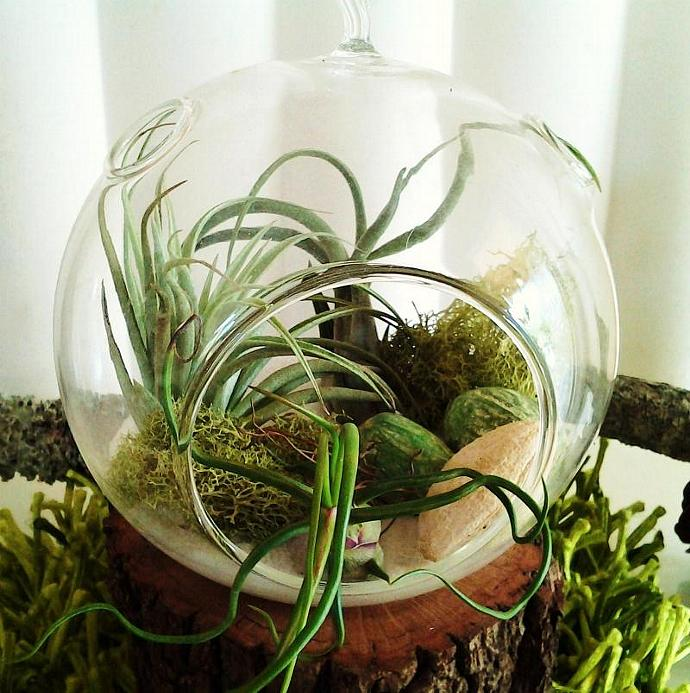 EVERGREEN-  Air plant terrarium with (3) Premium Air plants - Terrariums - Air