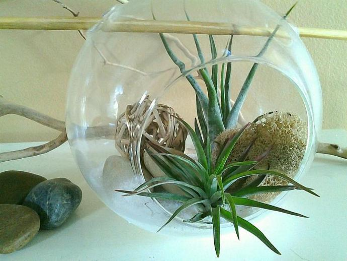 BAMBOO - Large Air plant terrarium with 2 Premium Air plants , Natural twig